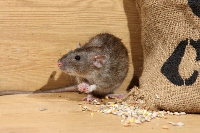 Уничтожение мышей в квартире и доме